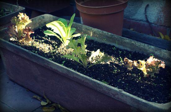 Dec 2 09 - lettuce